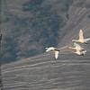 Tundra Swan 2014 237