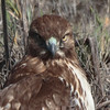 Red-tailed Hawk 2014 095