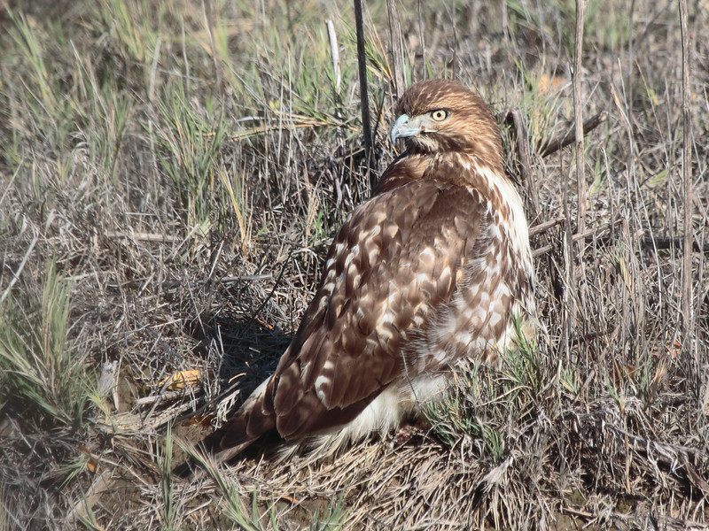 Red-tailed Hawk 2014 116