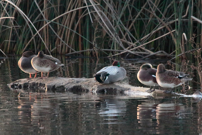 Falcated Duck 2014 175