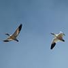 Snow Geese 2014 125