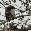 Bald Eagle 2014 064