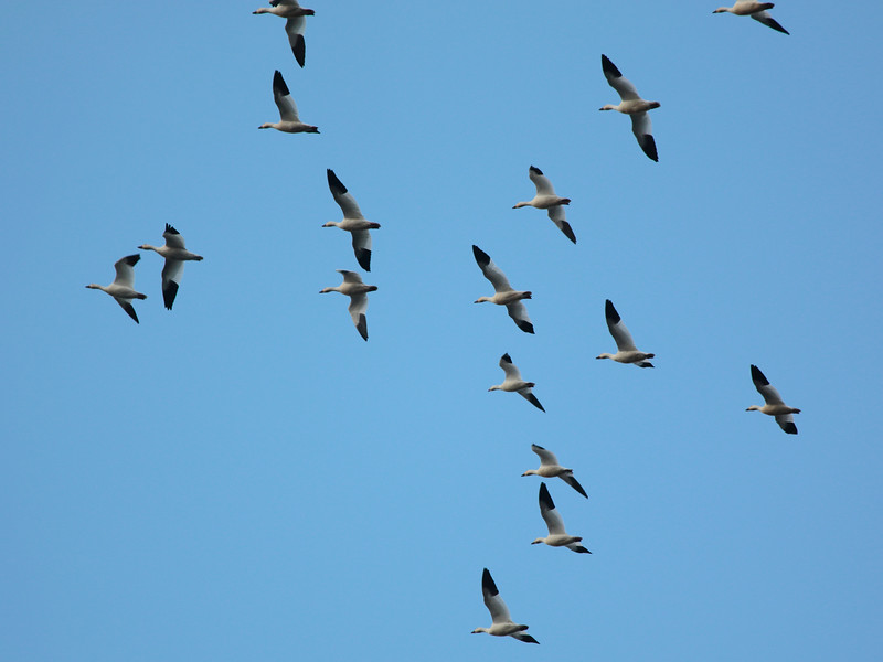 Snow Geese 2014 027