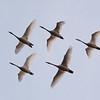 Tundra Swan 2014 215