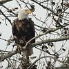 Bald Eagle 2014 059