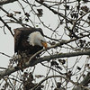 Bald Eagle 2014 043