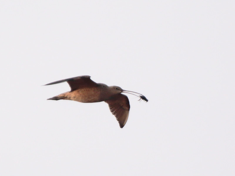 Long-billed Curlew 2014 223