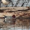 Eurasian Wigeon 2014 295