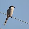 Loggerhead Shrike 2014 248