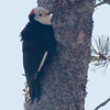 White-headed Woodpecker 2015 086