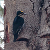 Black-backed Woodpecker 2015 457