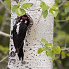 Hairy Woodpecker 2015 383