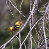 Western Tanager 2015 325