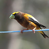 Evening Grosbeak 2015 403