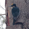 Black-backed Woodpecker 2015 472