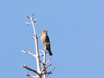 Flycatcher 2017 206