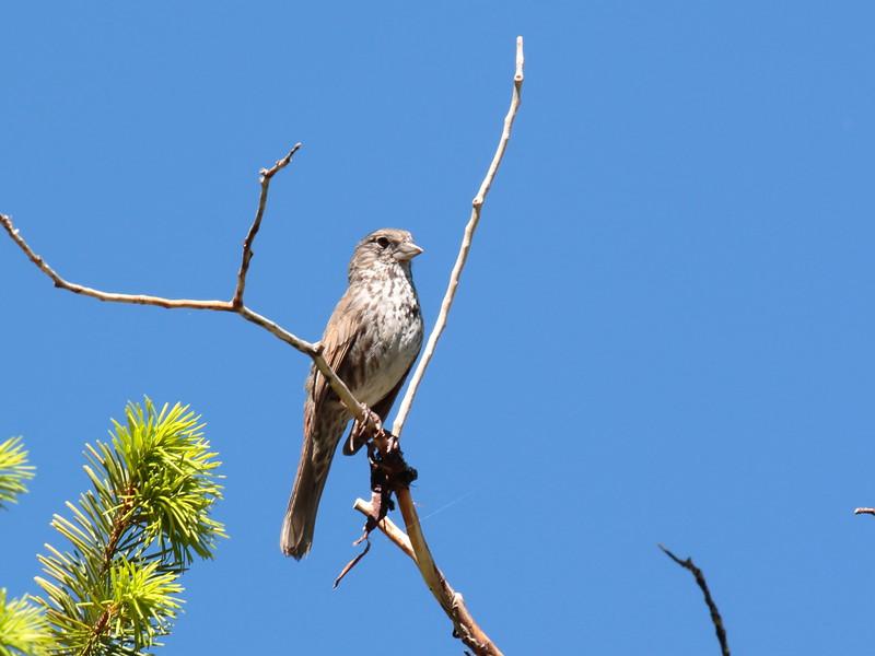 Fox Sparrow 2017 213