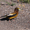 Evening Grosbeak 2013 _MG_0218