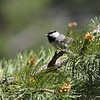 Mountain Chickadee 2013 _MG_0004