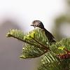 Fox Sparrow  2013 _MG_0050