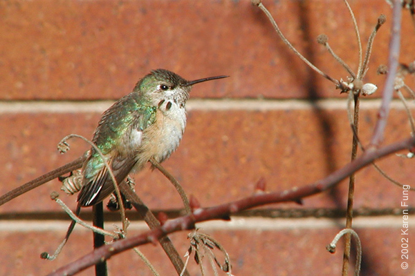 24 November: Calliope Hummingbird (immature male) in Wagner Park, Manhattan NYC.  Two gorget feathers are visible.