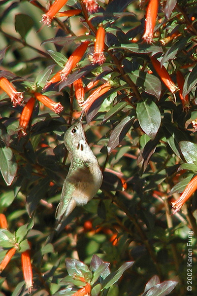 24 November: Calliope Hummingbird (immature male) in Wagner Park, Manhattan NYC