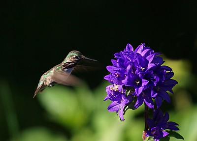 Calliope Hummming bird
