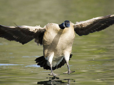 Canada Goose - 02/12/06 - Howarth Park, Santa Rosa, California