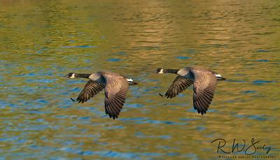 Geese Gaining Ground