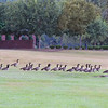 Canada Geese on the way to cross the pond.