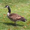 Canada Goose during migration.