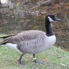 Canada Goose banded by the USGS (U.S. Geological Survey)