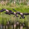 Canada Geese Landing 0016