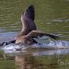 Canada Geese Landing 0033