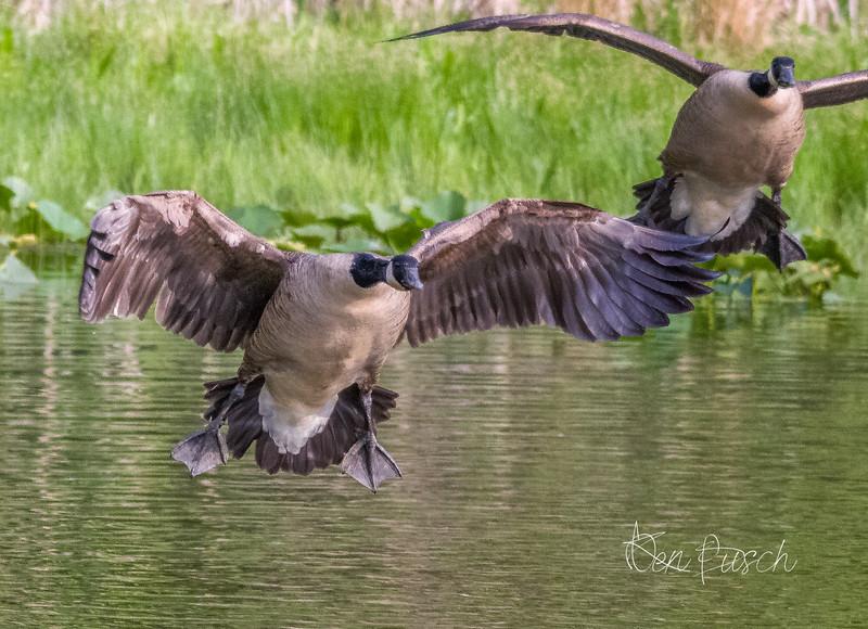 Canada Geese Landing 0053