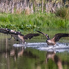 Canada Geese Landing 0020
