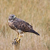 Swainson's Hawk with leftovers in a farmer's field just south of Saskatoon