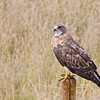 Swainson's Hawk in a farmer's field just south of Saskatoon