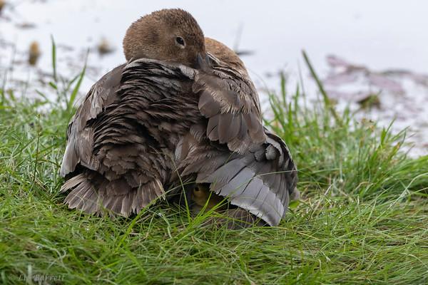 0U2A9457_Canvasback_ducklings