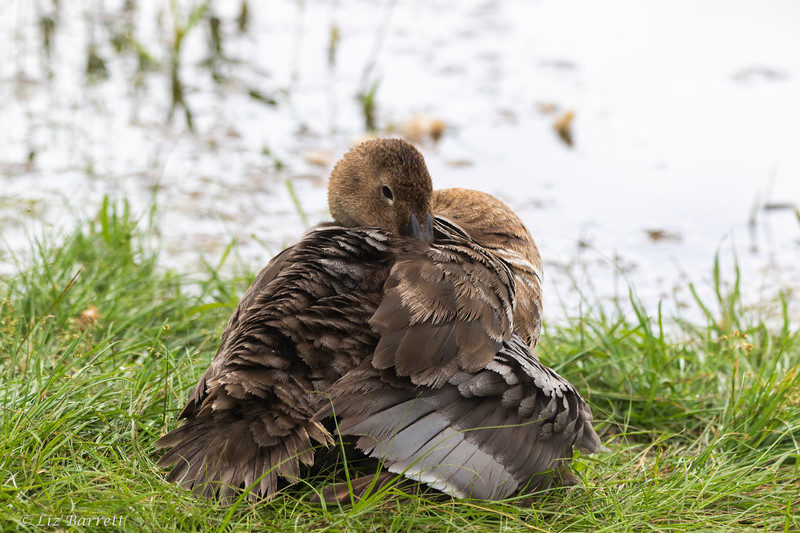 0U2A9435_Canvasback_young.jpg