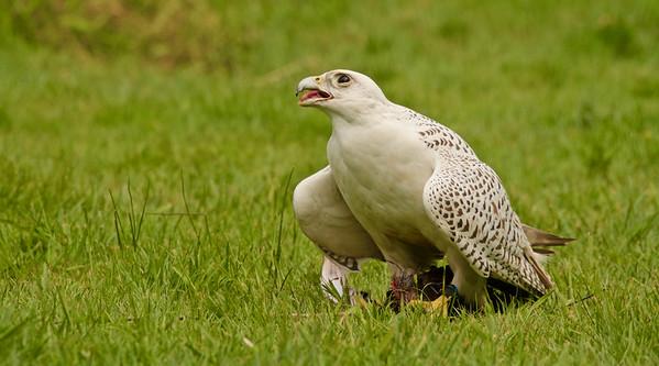 Gyr/Saker Hawk