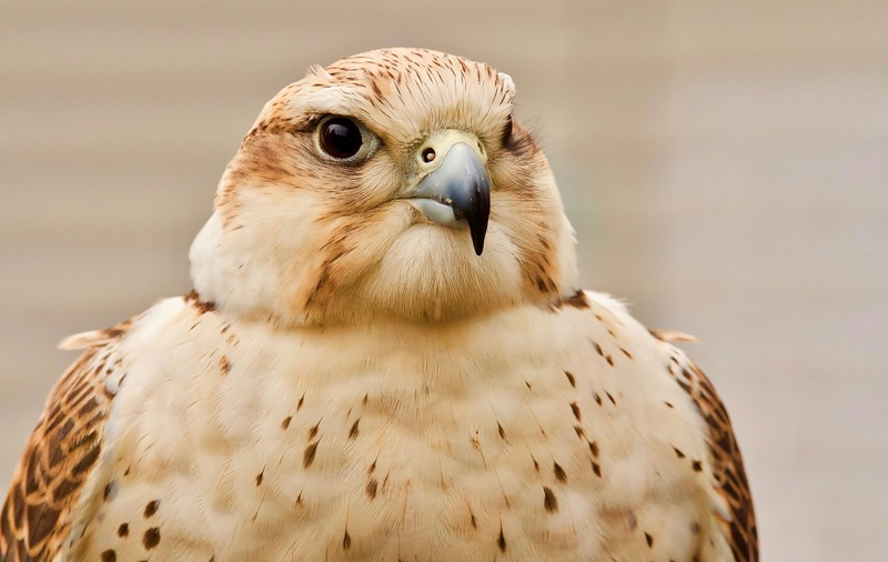 """Saker Falcon """"Emily"""""""