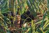 Crested Caracara (b0114)