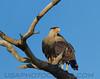 Crested Caracara (b0116)