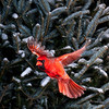 North America, USA, Minnesota, Mendota Heights, Northern Cardinal, Male, Flying