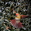 North America, USA, Minnesota, Mendota Heights, Female Nortnern Cardinal in Flight