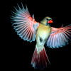 North America, USA, Minnesota, Mendota Heights, female Northern Cardinal in flight