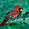 North America, USA, Minnesota, Mendota Heights, Male Northern Cardinal