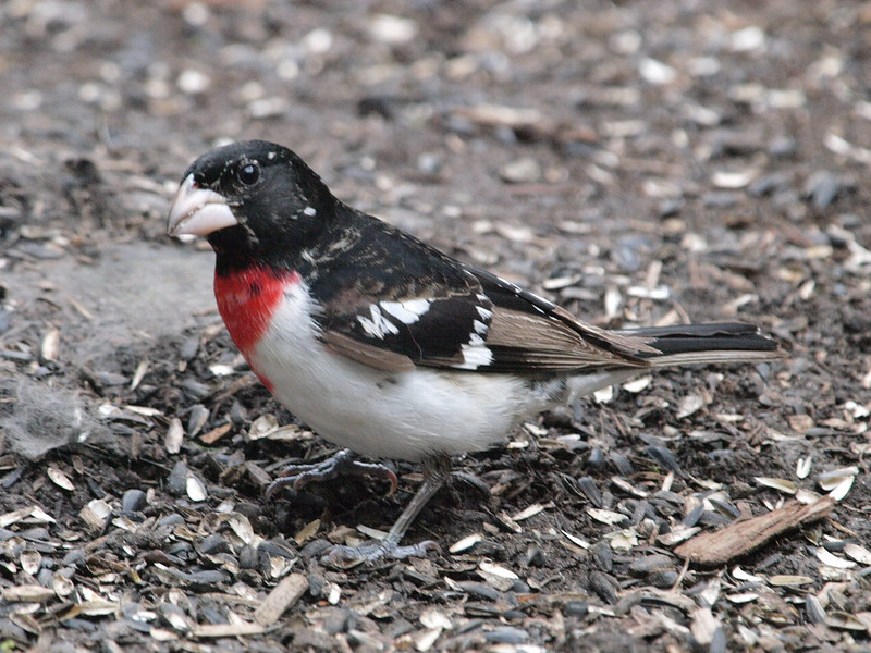 rose-breasted grosbeak: Pheucticus ludovicianus