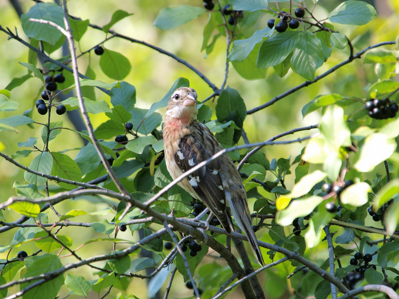 Rose Breasted Grosbeak - Immature - Brittania Ridge